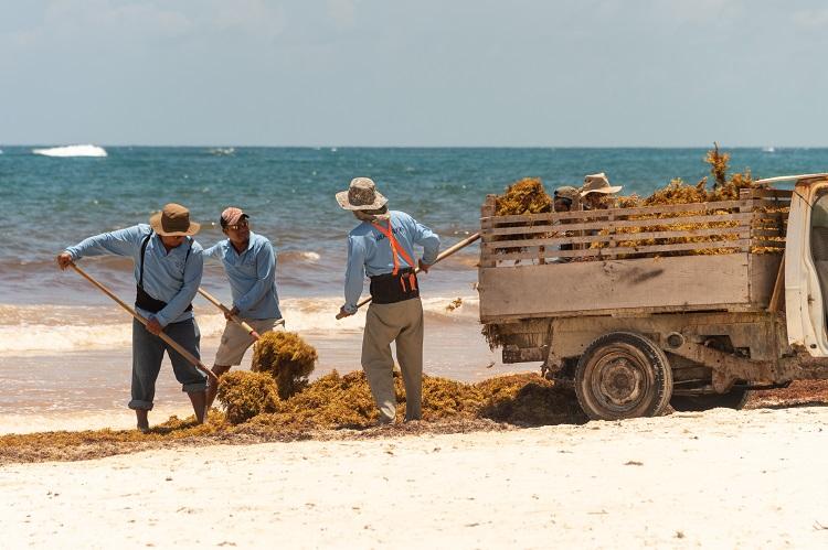 sargassum clean-up ISTOCK