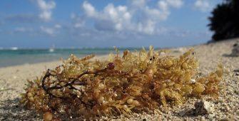 sargassum algae
